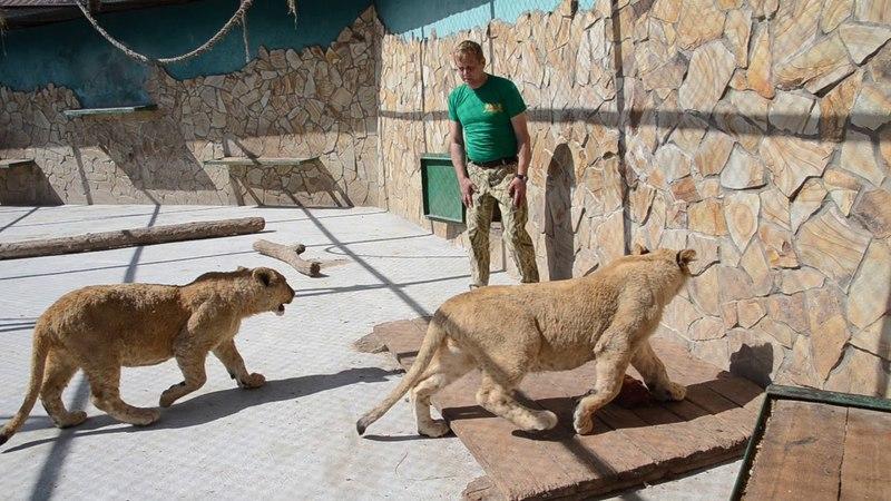 СМОТРЕТЬ ВСЕМ ,кто хочет увидеть как Олег Зубков общается с львятами до их выхода в Сафари .