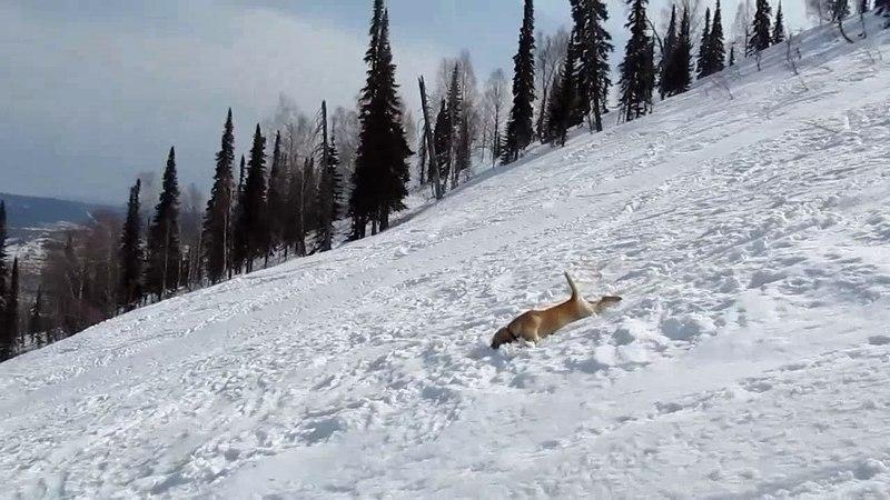 Лабрадор катался с гор