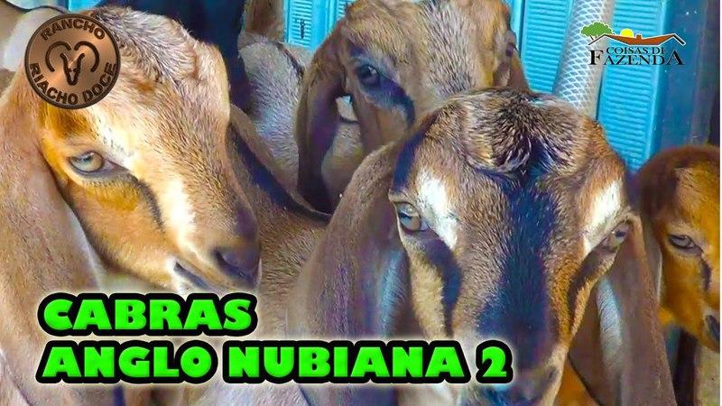 CABRAS ANGLO NUBIANA 2