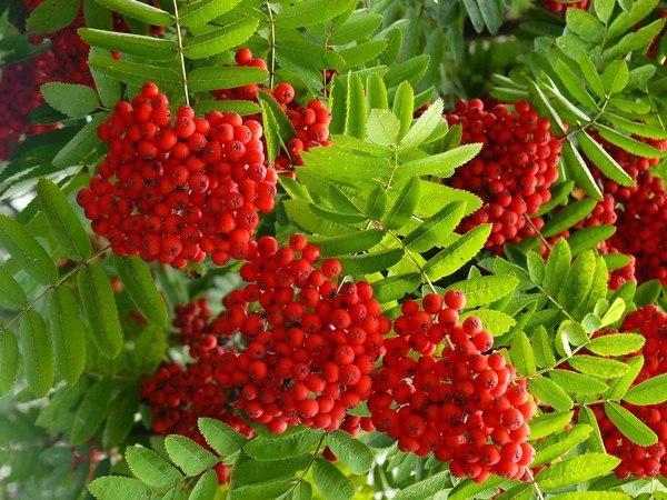 рябина-польза рябина – небольшое дерево семейства розоцветных. является родоначальной формой многих культурных форм со сладко-кислыми плодами. ягоды содержат до 1,5% белков, до 12% сахаров,