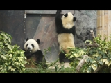 Панды - национальное достояние КитаяPandas are the national treasure of China