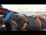 Тюлени на военной службе