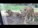 Львица открыла дверь автомобиля туристов пока те увлеченно фотографировали других львов