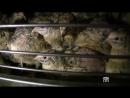 Французская перепелиная птицефабрика