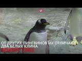 Очень крутые пингвины появились в Москве