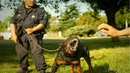 Rottweiler Trained Disciplined dogs