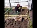 Обычный день в России Медведь помогает на даче сажать картошку strong russia today