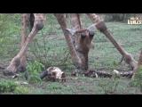"Rare Footage Of ""Scavenging"" Giraffe Herd Feeding On A Buffalo Skeleton! ¦ Amazing African Wildlife"