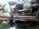 Смешной малыш пингвин Пражский зоопарк