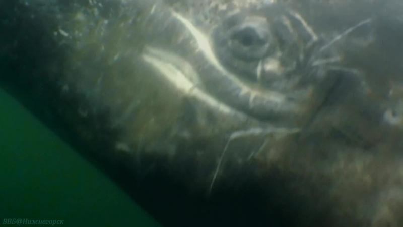 BBC «Морские гиганты (2). Глубокие мыслители» (Познавательный, природа, животные, 2011)