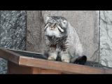 Манул из Московского зоопарка грустит из-за долгой зимы
