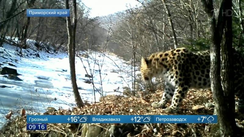 Ученым национального парка «Земля леопардов» удалось возродить популяцию краснокнижных животных.