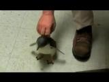 Что будет, если пощекотать пингвина