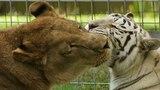 Lion + White Tiger = True Love
