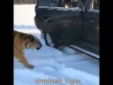 В России очень любят кошек . Больших кошек.