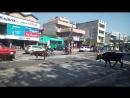 Бесстрашные коровы Непала