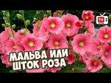 Неприхотливые цветы для сада ? Мальва или шток роза ? Обзор HITSAD TV