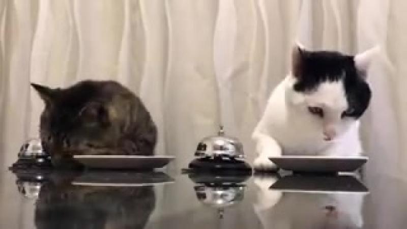 Смотрите, коты научили человека давать им еду по команде! Люди такие способные