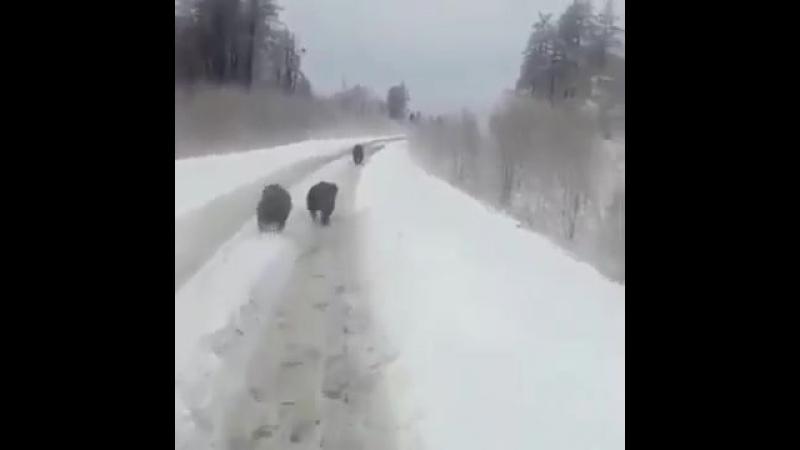 Встретил медведей на дороге в Горном Алтае