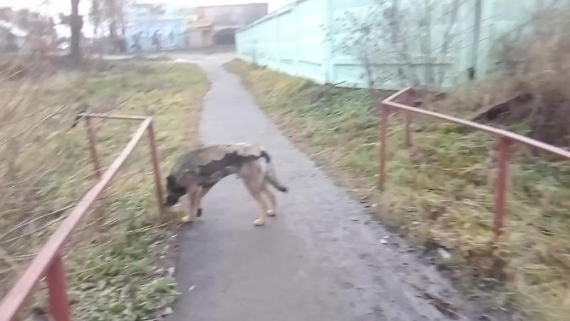 VID_20171120_154113[1] - 20 ноября 2017 г. Собаки в городе. г. Малоярославец.
