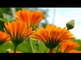 Аптекарский огород 10 самых полезных лекарственных растений для дачи