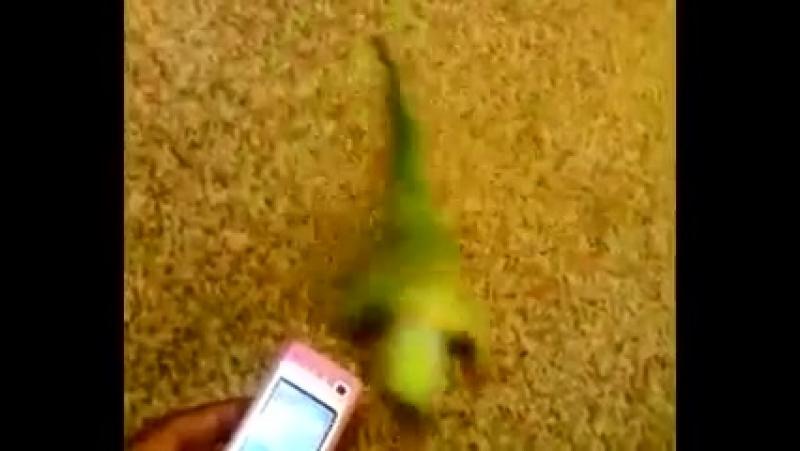 Попугай танцует танец живота