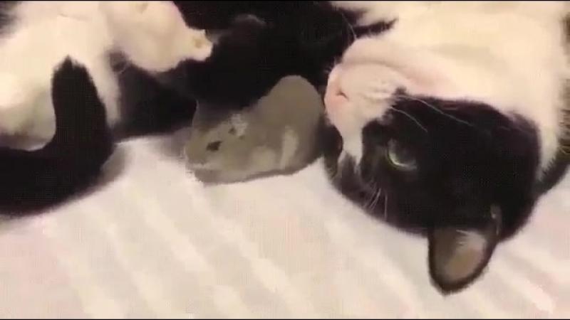 Вот она дружба! Котэ и хомячок