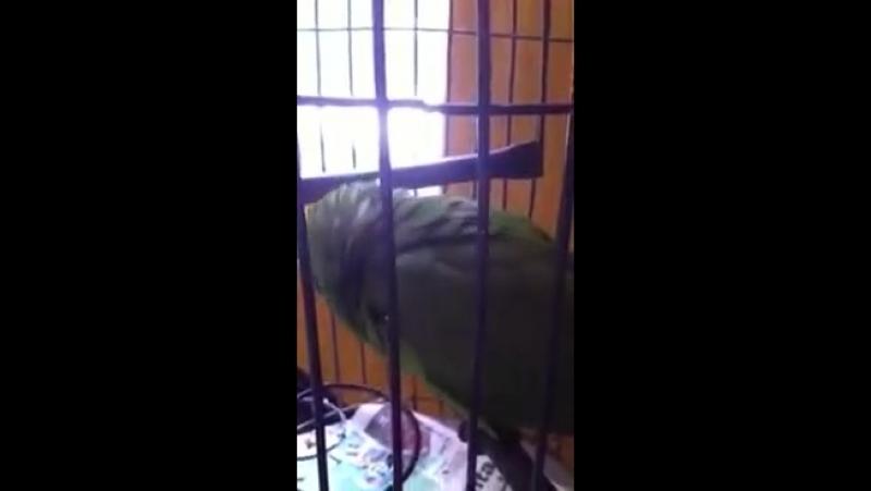 папугай плакса