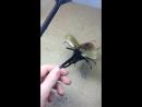 жук-геркулес