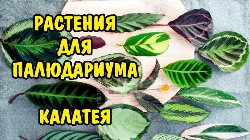 РАСТЕНИЯ ДЛЯ ПАЛЮДАРИУМА. КАЛАТЕЯ. PLANTS FOR PALUDARIUM. CALATHEA.