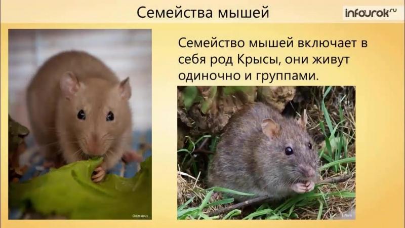 41. Класс Млекопитающие. Отряды Грызуны, Зайцеобразные