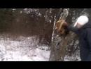Охота риджбека на льва - часть 1