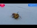 Смертельная схватка осы и пчелы шокировала пользователей сети