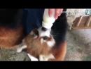 Приём пищи красных панд