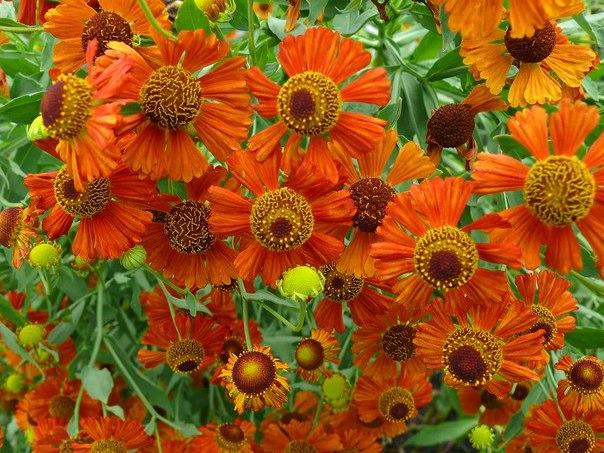гелениум цветок гелениум (лат. helenium) – род однолетников и многолетников семейства сложноцветные, насчитывающий 32 вида, которые произрастают в центральной и северной америке. гелениум имеет