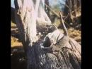 Редчайшее видео как геккон Strophurus taenicauda реагируя на опасность выстреливает пахучую и липкую жидкость