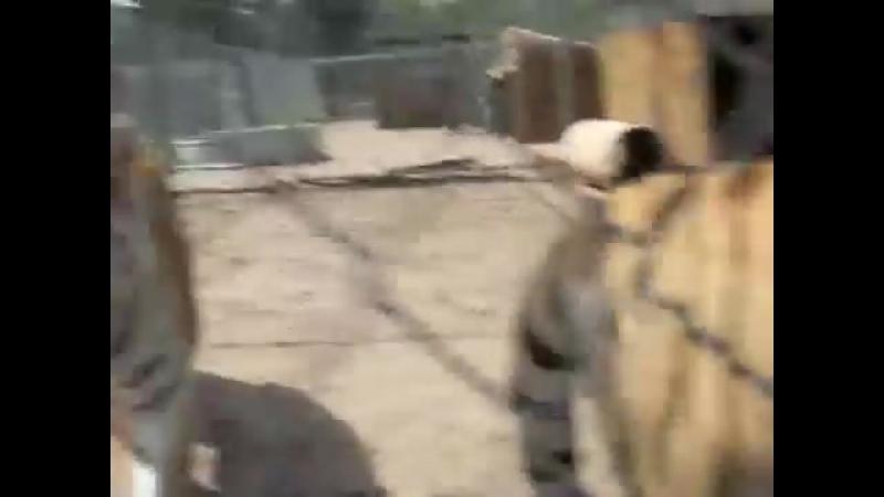 Тигры не умеют мурлыкать, но умеют смешно пыхтеть, когда они довольны и счастливы