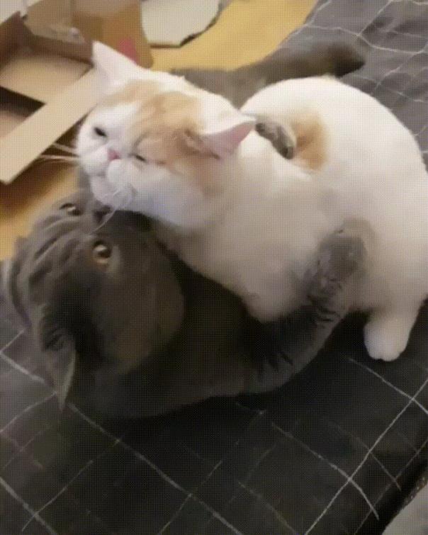 гифы котики целуются как видно