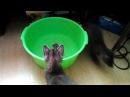 Соболь Сеня купается