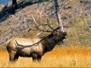 Охота на изюбря в Якутии. Охота на изюбря на реву .