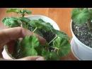 Прищипка пеларгонии Формировка пеларгоний Как формировать растения для кустистости