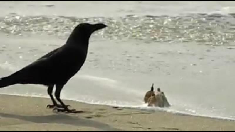 Краб с вороной выясняют отношения на берегу моря