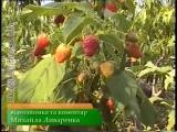 Сам себе агроном - Элитные сорта малины и ежевики