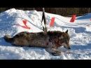 Охота на волка с флажками зимой в Якутии