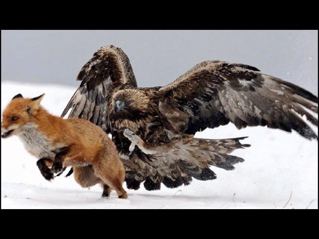 Winning Tactics For Golden Eagle Attacks Vs Fox on Patrol