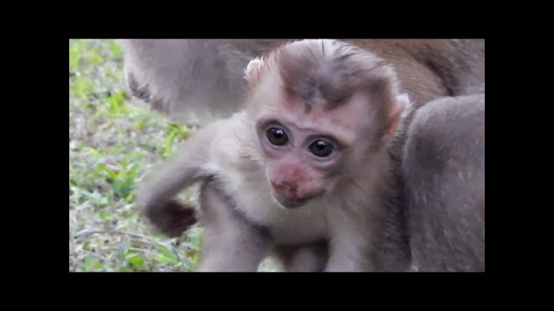 Cute Baby Monkey - Cute Pigtail Baby Monkey - Pigtail Monkey Always Protect New Baby From Kulen Moun