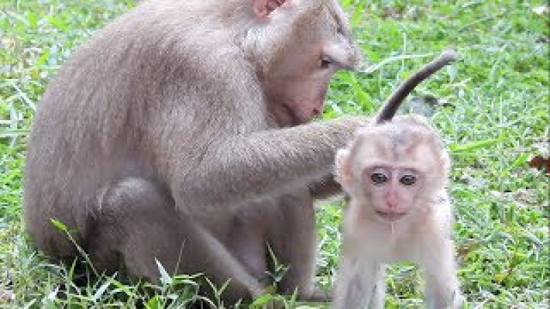 Pigtail Monkey With Her Baby Monkey And Also Love New Baby Face Like Her