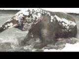 интересные факты / как выпавший снег порадовал слоненка в зоопарке