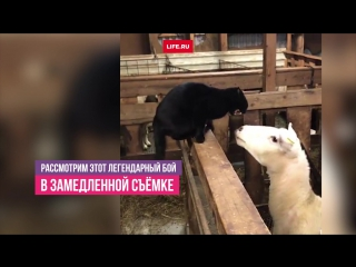 Добрая овца одержала победу над агрессивным котом