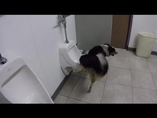 IQ этой собаки выше, чем у некоторых людей